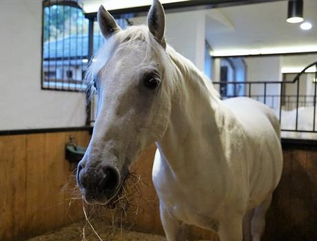 Half Day Visit to the Lipizzaner Farm in Slovenia