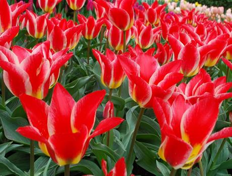 Keukenhof and Flowerfields Tour from Rotterdam and The Hague