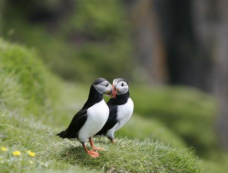 Puffin & Whales Wathcing Tour from Reykjavik