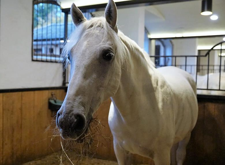 Half Day Visit to the Lipizzaner Farm in Slovenia from Istria